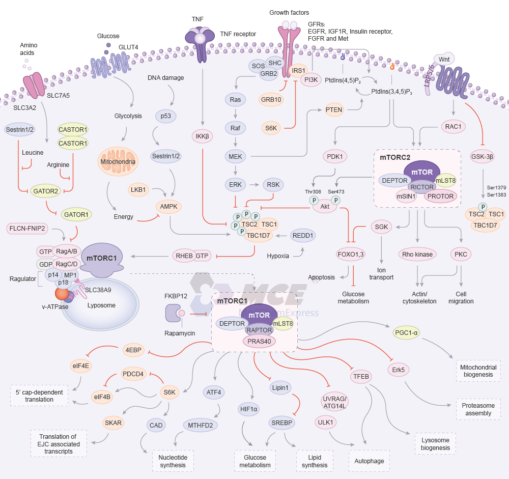 Targets/MCE-mTOR-Signaling-Pathway.png